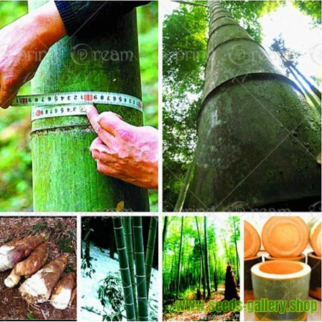 Semi Di Bambù Gigante  Resistenti -25 ° C