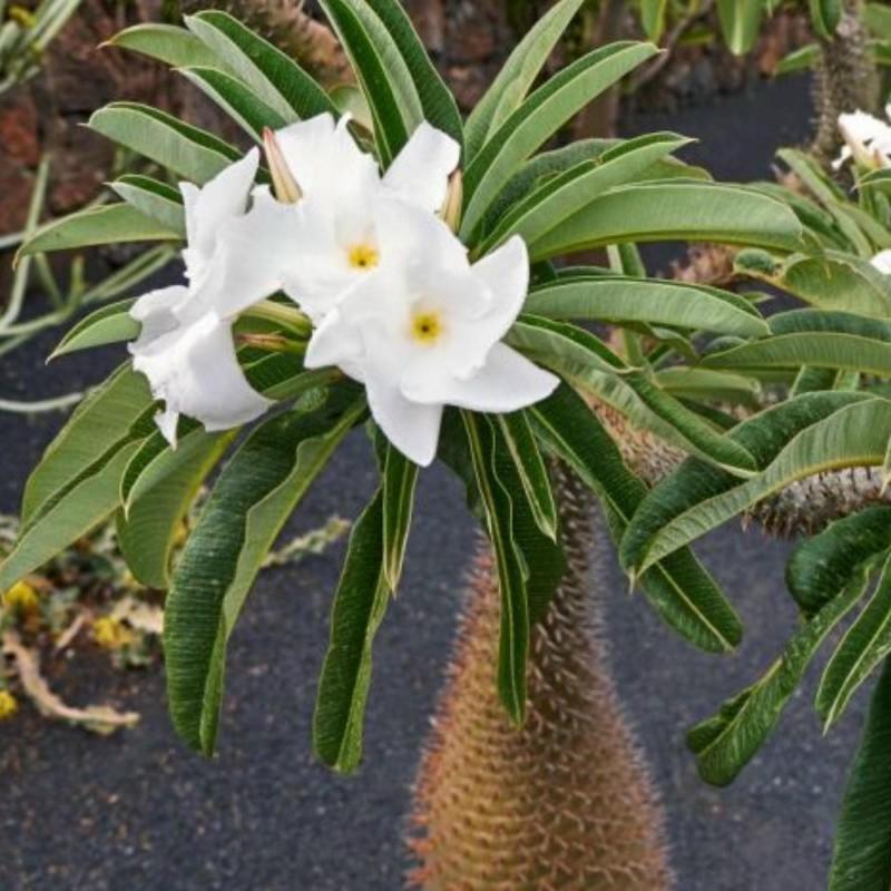 Pachypodium lamerei Samen - Madagascar Palm 1.95 - 1