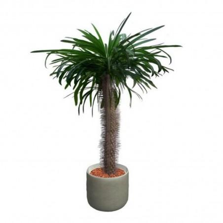 Pachypodium lamerei Samen - Madagascar Palm 1.95 - 2