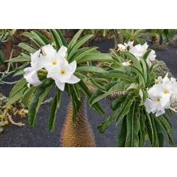 Graines de palmier de Madagascar (Pachypodium lamerei) 1.95 - 3