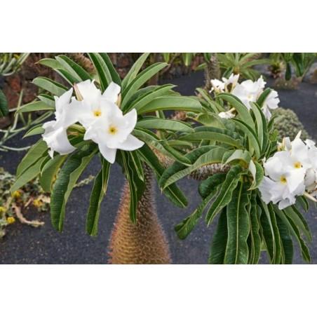 Σπόροι Παχυπόδιο Pachypodium Lamerei 1.95 - 3