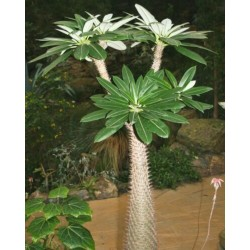 Graines de palmier de Madagascar (Pachypodium lamerei) 1.95 - 4