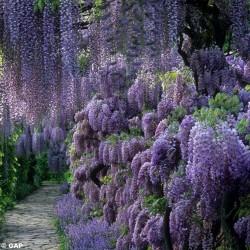 Σπόροι Wisteria floribunda...
