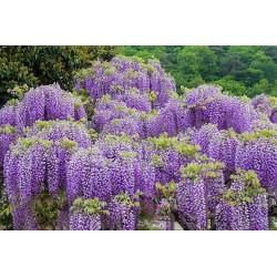 Semillas de Glicinas o Glicinias (Wisteria sinensis) 1.85 - 3