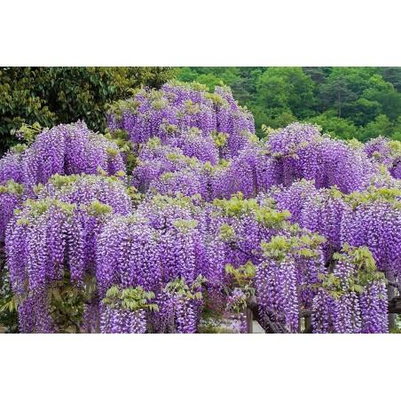Wisteria Seeds (Wisteria sinensis) 1.85 - 3