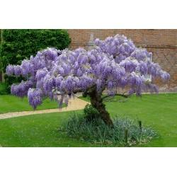 Семена Глици́ния, висте́рия (Wistéria) 1.85 - 5
