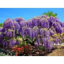 Wisteria - Visterija Seme (Wisteria sinensis) 1.85 - 7