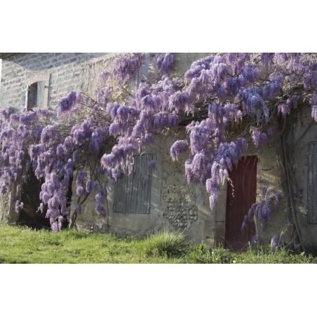 Blåregnssläktet - Blåregn Frön (Wisteria Sinensis) 1.85 - 8