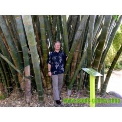 Sementes De Bambu Mosso