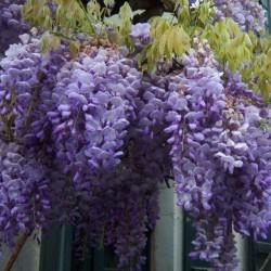 Wisteria - Visterija Seme (Wisteria sinensis) 1.85 - 11