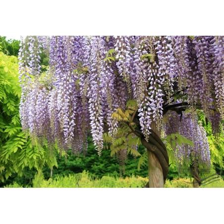 Wisteria Seeds (Wisteria sinensis) 1.85 - 13