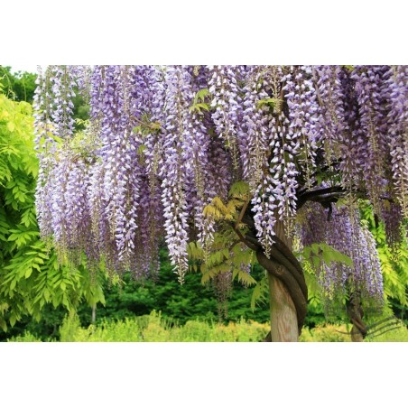 Wisteria - Visterija Seme (Wisteria sinensis) 1.85 - 13