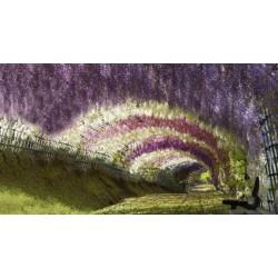 Blåregnssläktet - Blåregn Frön (Wisteria Sinensis) 1.85 - 14