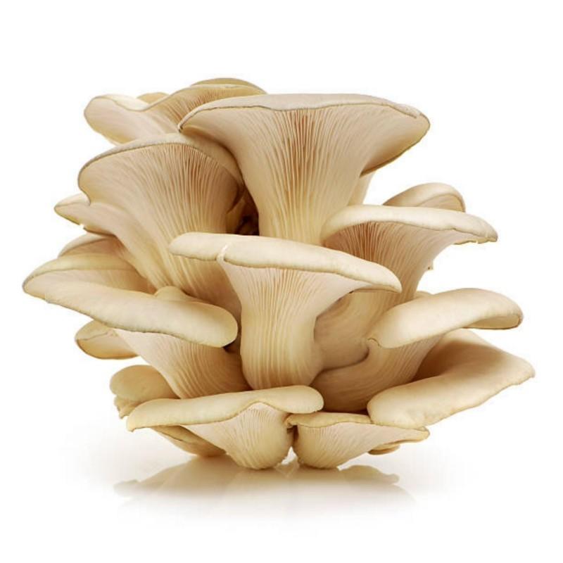 Weißer Rillstielige Seitling - Myzel - Samen (Pleurotus cornucopiae) 3 - 10