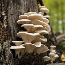 Brestovaca Gljiva – Micelijum – Seme (Pleurotus sapidus) 3 - 7