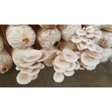 Mycélium de Pleurote Blanc (Graines) (pleurotus citrinopileatus) 3 - 8