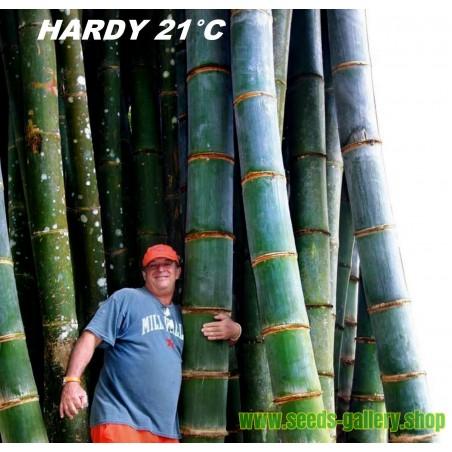 Graines de Bambou Moso Rusticité -30°C