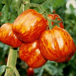 Striped Stuffer Tomato Seeds 1.65 - 5