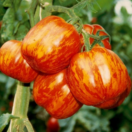 Striped Stuffer Tomato Seeds 1.65 - 5