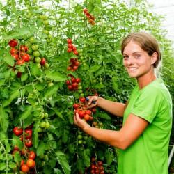 BLUMAUER Vine Cherry Tomato Seeds 1.75 - 2