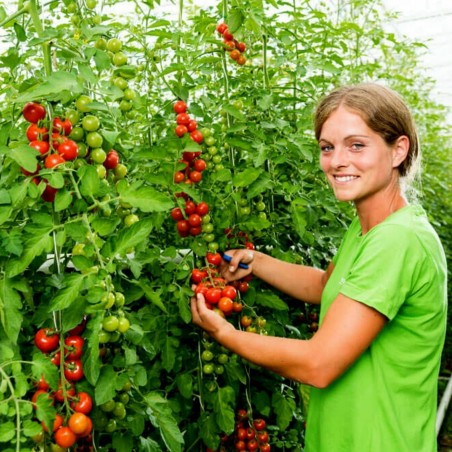 Austrijski BLUMAUER Cherry Paradajz Seme 1.75 - 2