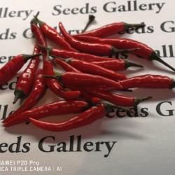 Rawit Chili Seeds (Capsicum frutescens) 1.95 - 2
