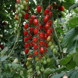 Mini San Marzano Yellow and Red Tomato Seeds 1.95 - 2
