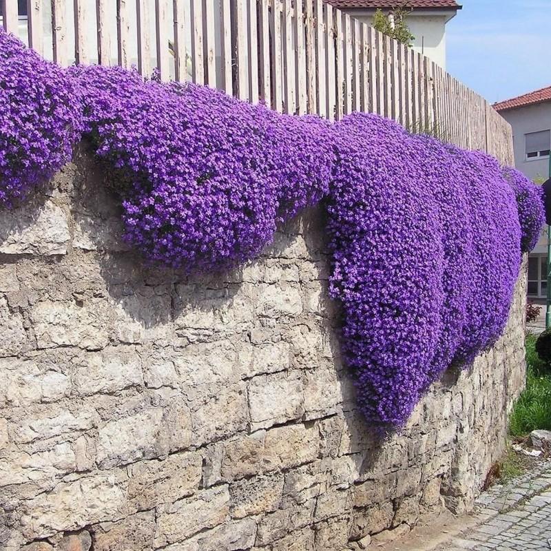 Creeping Thyme - Purple Creeping Seeds (Thymus Serpyllum) 1.95 - 6