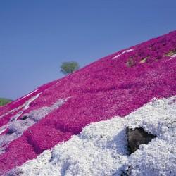 Creeping Thyme - Purple Creeping Seeds (Thymus Serpyllum) 1.95 - 1