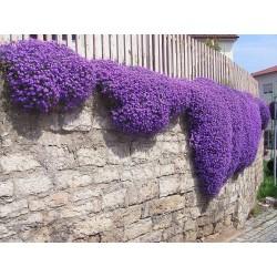 Creeping Thyme - Purple Creeping Seeds (Thymus Serpyllum) 1.95 - 2