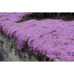 Creeping Thyme - Purple Creeping Seeds (Thymus Serpyllum) 1.95 - 3