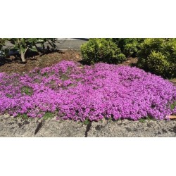 Creeping Thyme - Purple Creeping Seeds (Thymus Serpyllum) 1.95 - 5