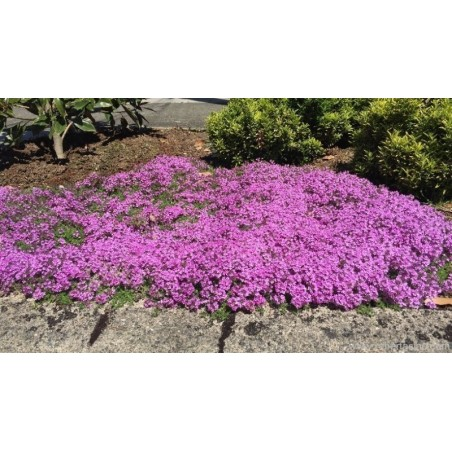 Backtimjan Frön (Thymus serpyllum) 1.95 - 5