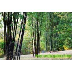 Semi di Bambù nero (Phyllostachys nigra)