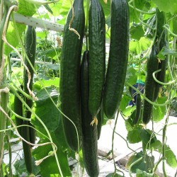 Super Long Cucumber seeds Suyo Long 1.75 - 1