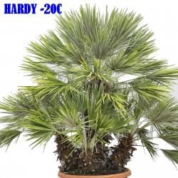 Mediterranean dwarf palm...