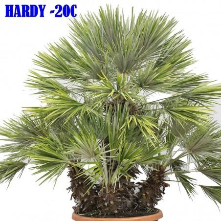Mediterranean dwarf palm Seeds (Chamaerops humilis) 3 - 3