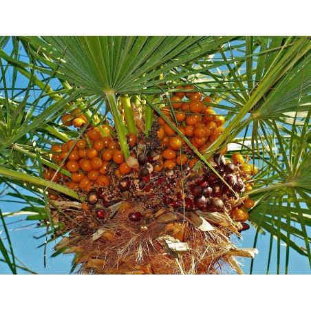 Mediterranean dwarf palm Seeds (Chamaerops humilis) 3 - 2