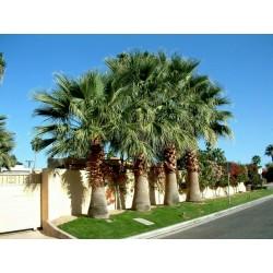 Graines de palmier à jupon, palmier de Californie (Washingtonia filifera) 1.75 - 3