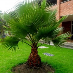 Kalifornische Washingtonpalme Samen Winterhart (Washingtonia filifera) 1.75 - 1