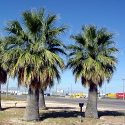 Kalifornische Washingtonpalme Samen Winterhart (Washingtonia filifera) 1.75 - 2