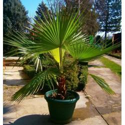 Graines de palmier à jupon, palmier de Californie (Washingtonia filifera) 1.75 - 4