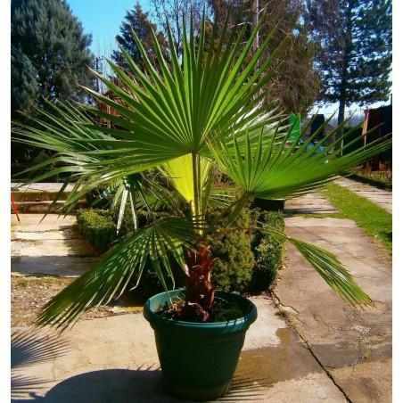Вашингтония нитеносная семена (Washingtonia filifera) 1.75 - 4