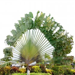 Semillas árbol del viajero