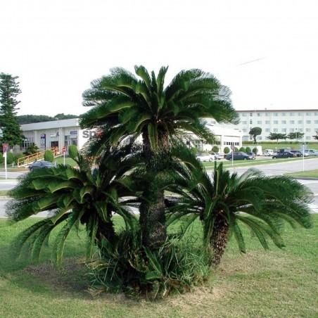 Seeds Sago Palm, King Sago, Sago Cycad, Japanese Sago Palm 1.75 - 2