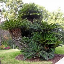 Semi di Palm Cycas revoluta 1.75 - 1