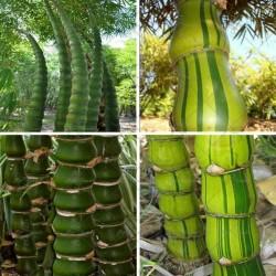 Sementes de Bambu Buda Barriga