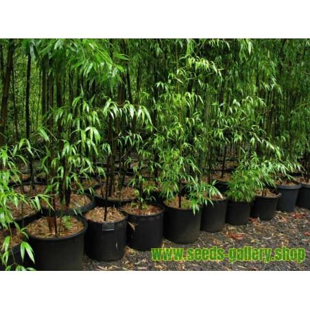 Rare Black Bamboo Seeds (Phyllostachys nigra)