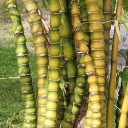 Knutbambu Bambu Fröer 1.95 - 1