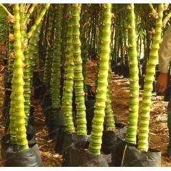Knutbambu Bambu Fröer 1.95 - 2